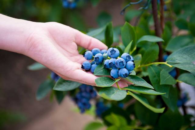 Foraging For Bilberries.