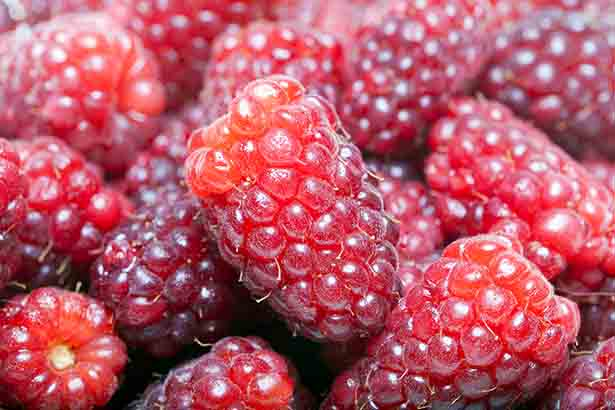 A picture showing loganberries.