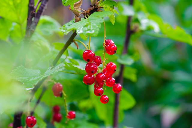Redcurrants Growing In the Wild.