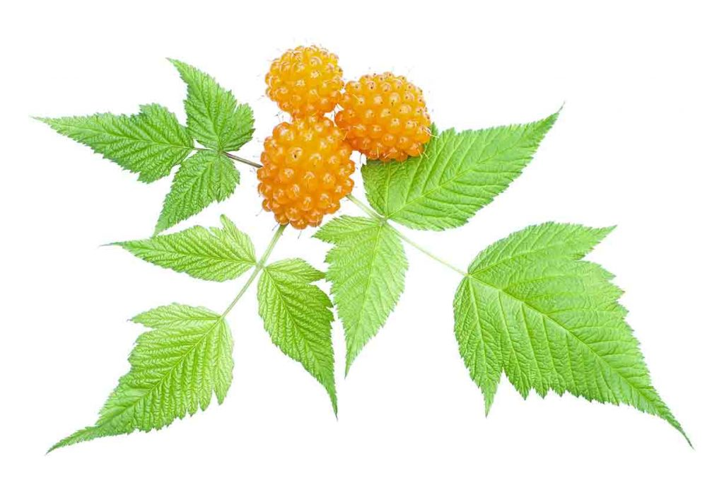 A picture of some salmonberries on the vine.