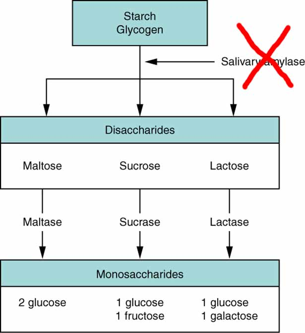 Picture of starch digestion by amylase - a carb blocker impedes amylase.