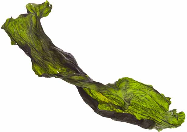 A Large Piece of Rehydrated Dried Kelp.