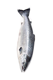 Picture of farmed salmon