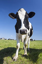 A Healthy Looking Cow In a Grassy Field.