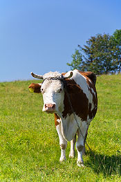 Grass-fed Cow Roaming in a Field.
