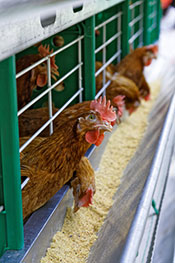 Picture of a caged chicken eating commercial feed.