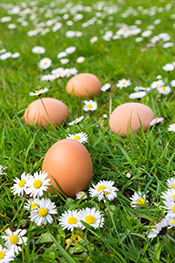 Some Eggs From Pastured Chickens Laying in the Grass.
