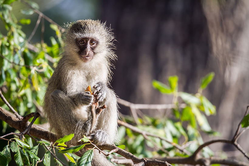 Picture of a monkey Holding Some Food.