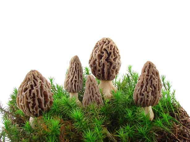 Morel Mushrooms Growing in the Grass/Dirt.