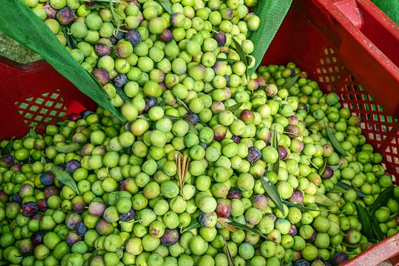 Picture of Arbequina Olives Being Harvested.
