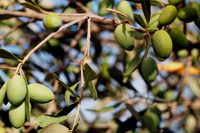 Picture of Picholine Olives Growing on the Vine.
