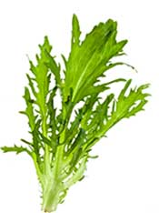 The Green, Broad and Curly Leaves of Escarole (Endive).