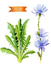 Picture of Green Chicory Leaves and Flowers.