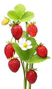 Wild Strawberry Plant With Fruit and Leaves.