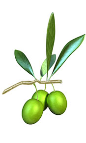 An Olive Branch With Hanging Olives and Green Leaves.