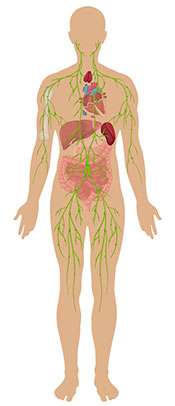 A Diagram Showing All the Cells Within the Human Body.