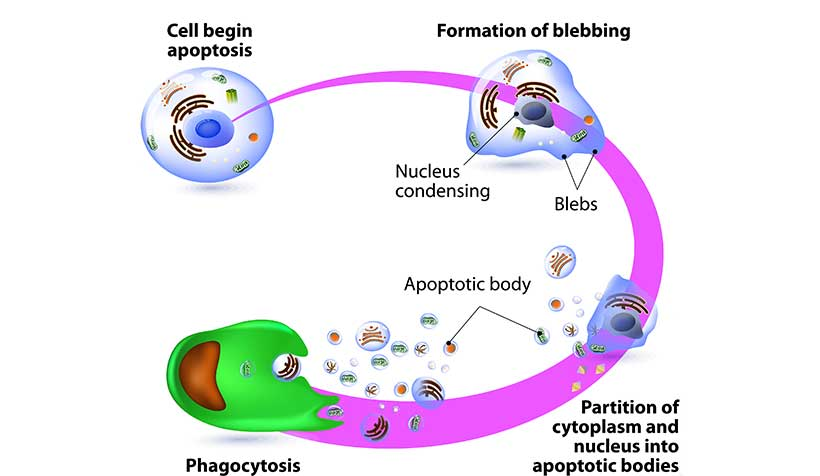 Diagram Showing How Cell Death Through Apoptosis Happens.