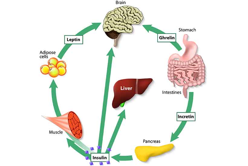 Diagram Showing How Ghrelin and Leptin Affect Our Appetite.