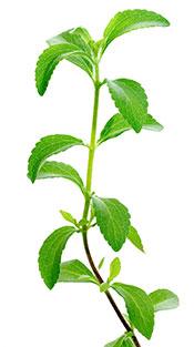 Green Fresh Stevia Leaves.