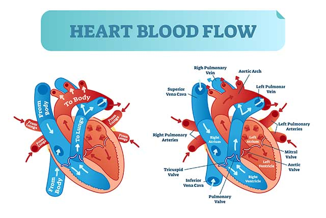 Diagram Showing Blood Flow To and From the Heart.