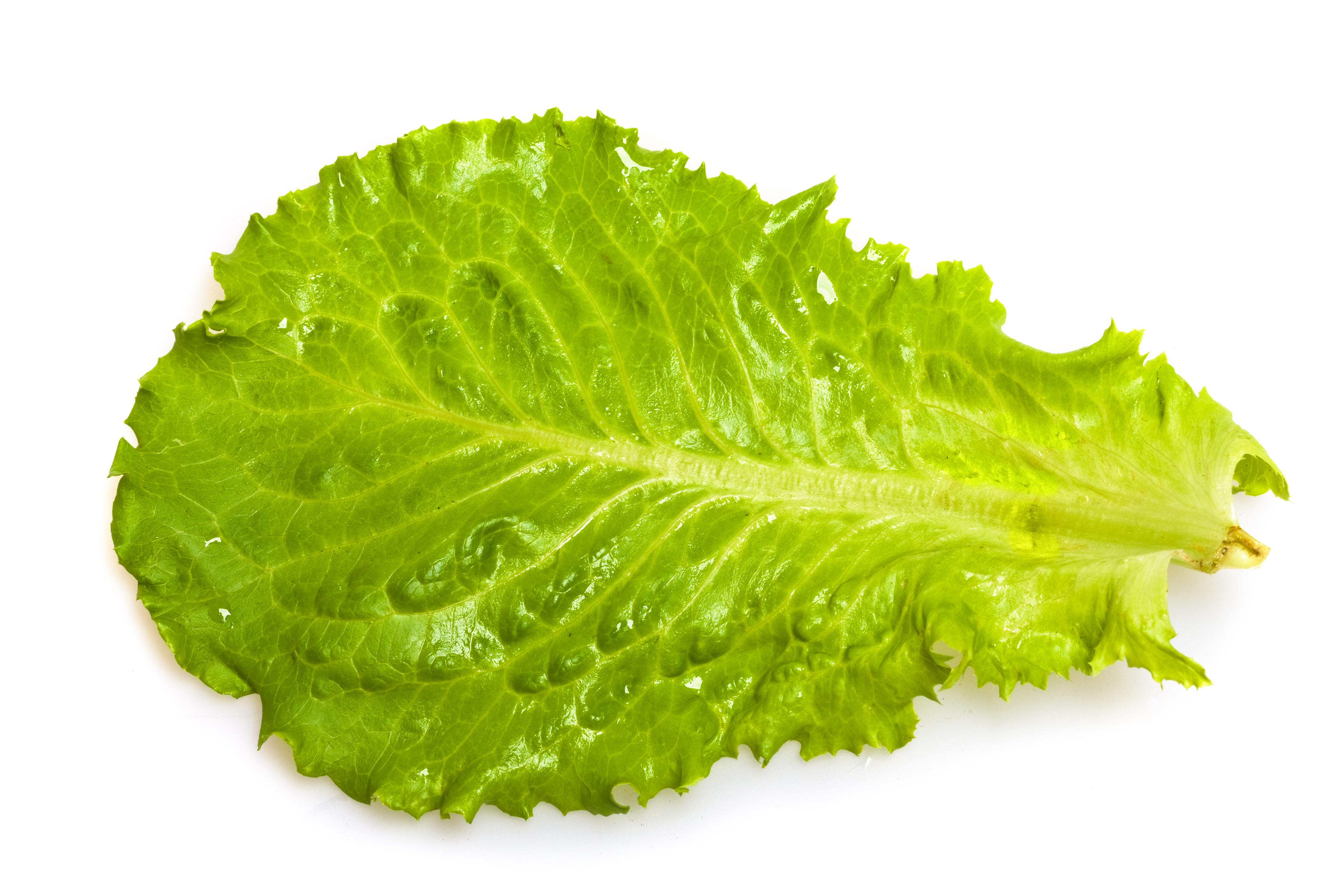 A Large Romaine Lettuce Leaf.