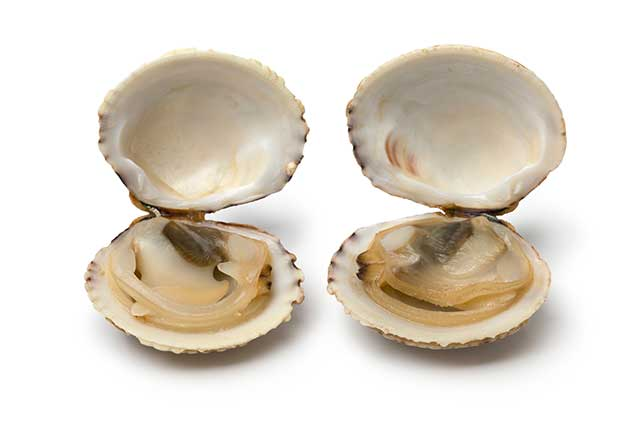 Two Clams With Open Shells.