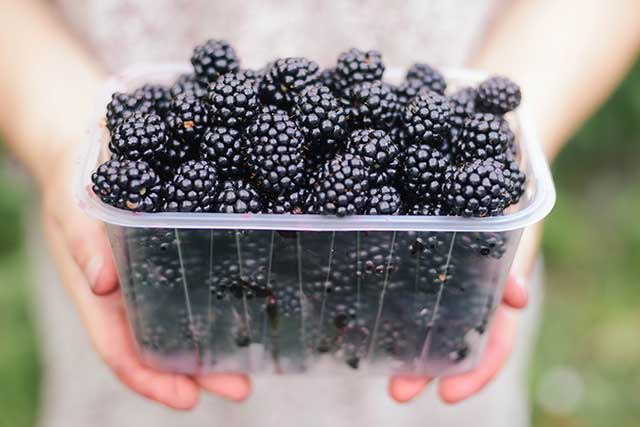 Female Hands Holding a Large Clear Punnet of Blackberries.