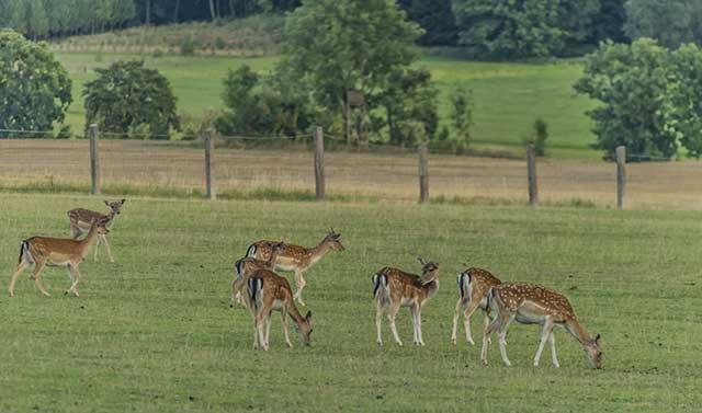 Deer Grazing On Fresh Pasture.