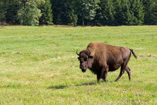 American Bison (Buffalo) In a Field Grazing On Pasture.