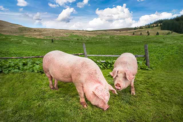 Free Range Pigs Grazing On Fresh Pasture Outdoors.