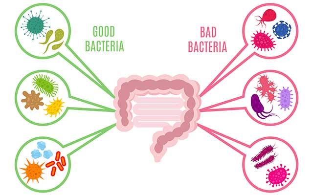 Illustration Showing Good and Bad Bacteria (Gut Microbiota).