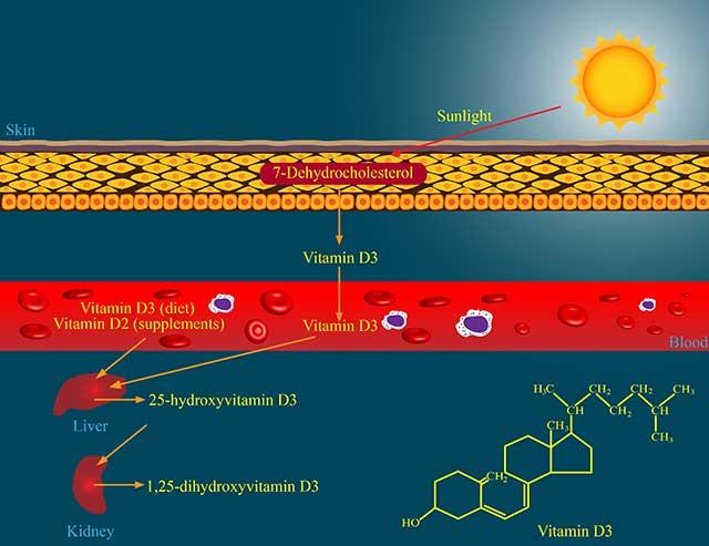 Diagram Explaining Vitamin D Metabolism Through Skin Exposure To Sunlight.