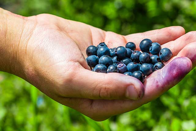 Handful of Small Freshly Picked Wild Blueberries.