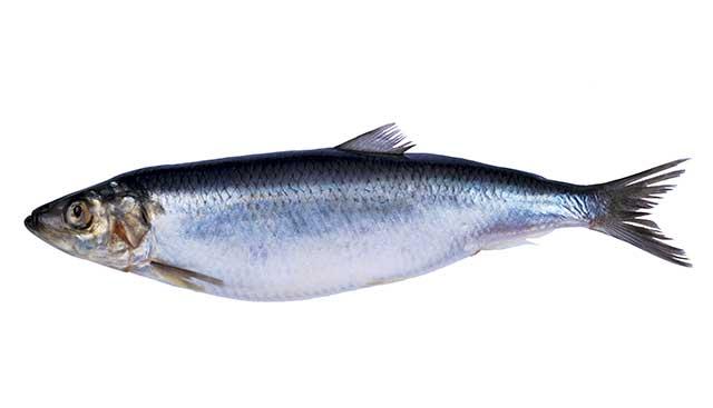 A Herring Fish.