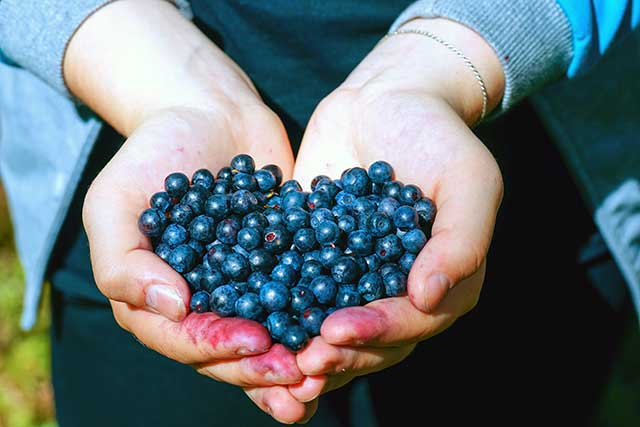 Two Cupped Hands Full of Small Wild Blueberries.