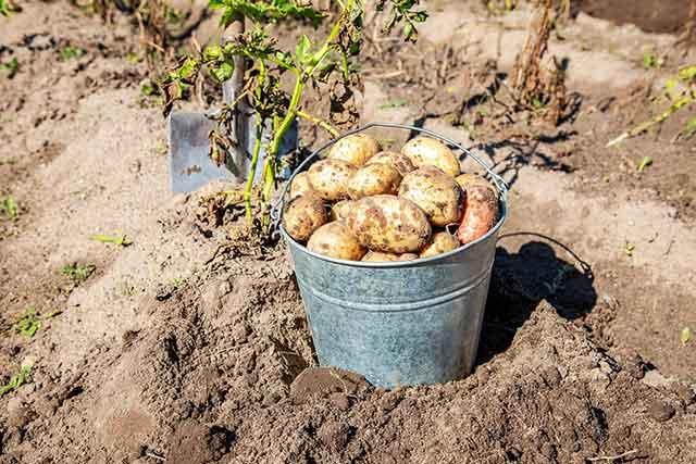Freshly Dug Potatoes In Metal Bucket.