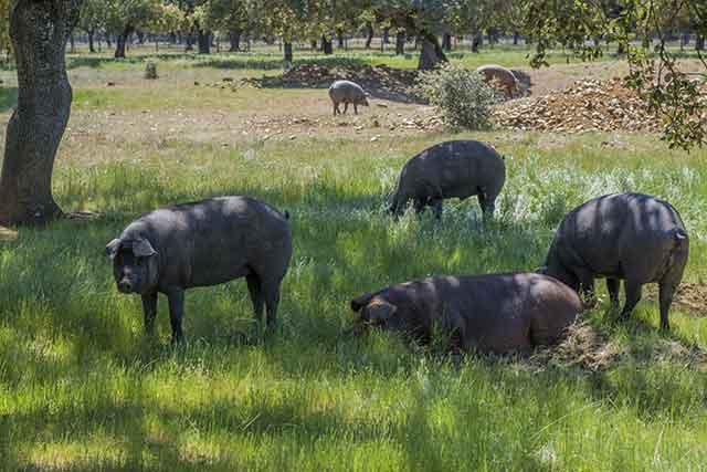 Iberian Pigs Eating Acorns.