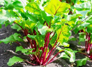 Beet Greens Growing From the Soil.