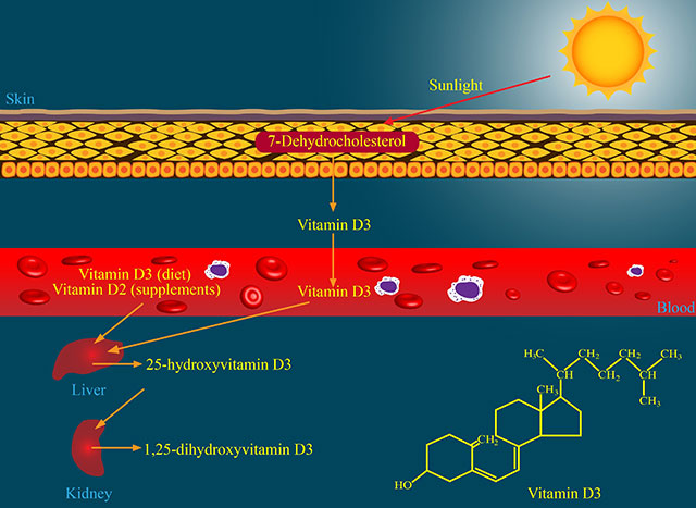 Diagram Showing Vitamin D Metabolism Pathways.