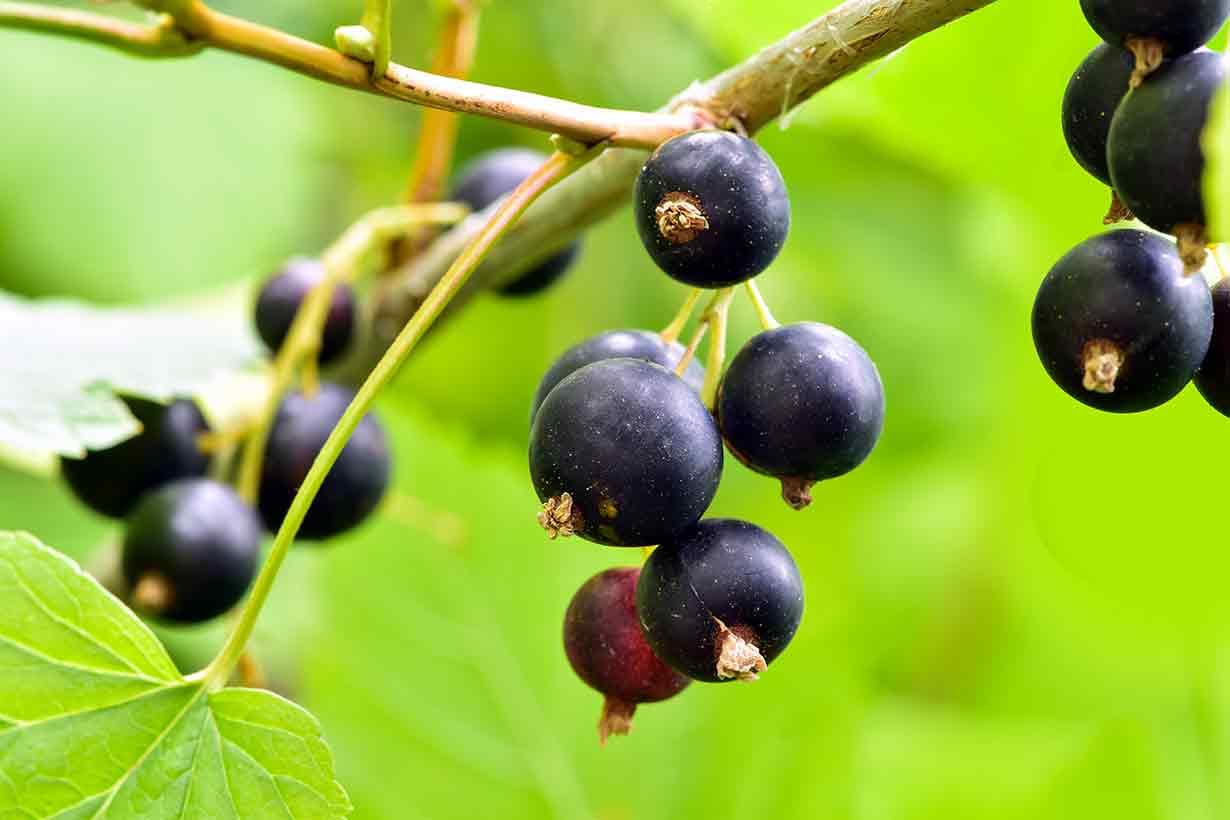 Black Currants Growing On a Bush.