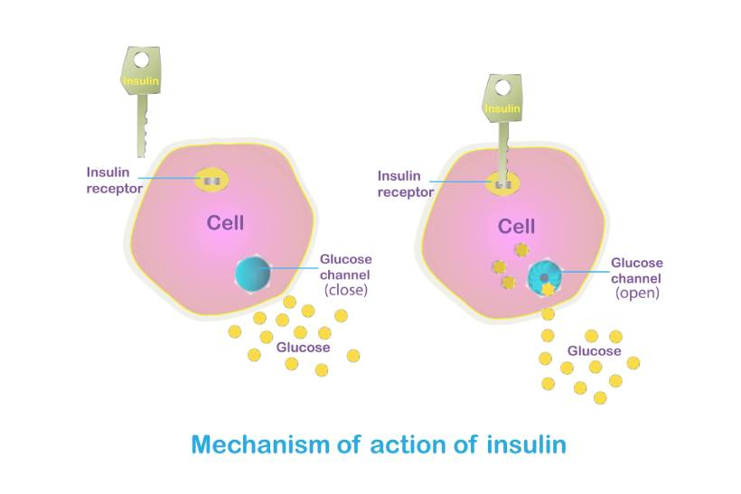 Diagram Showing How Insulin Works.