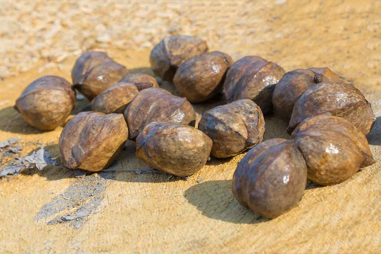 A Pile of Hickory Nuts In Their Shells.