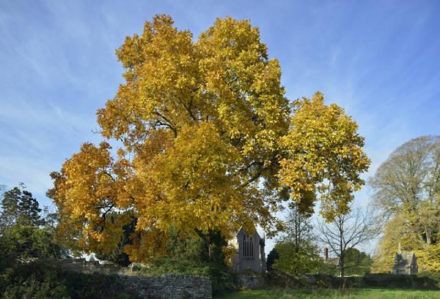 A Large Shagbark Hickory Tree.