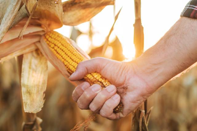 A Farmer Pulling An Ear of Maize Off Crops.