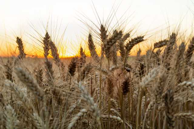 Triticale Ears In a Field With Sunset in the Distance.