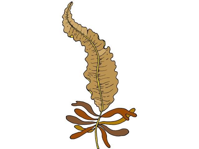 Badderlocks Seaweed (Alaria Esculenta).